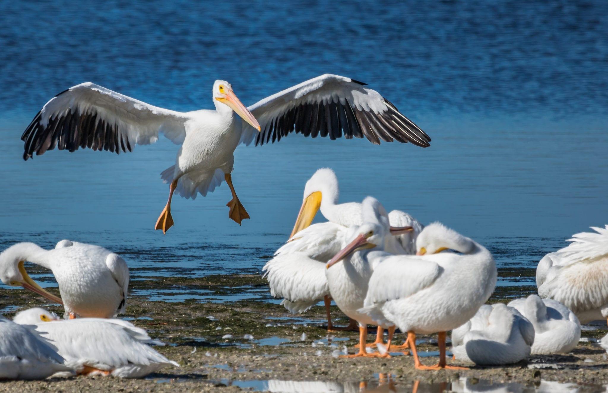 bird flying pelican